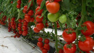 Вирощування томатів